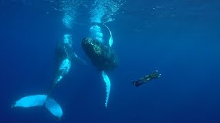 MATING SEASON - Diving with Fighting Humpbacks Whales