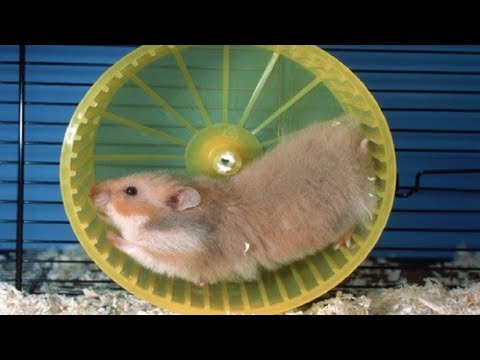 Funny Hamsters Falling Out onThe Wheel - Funny And Cute Pet Videos