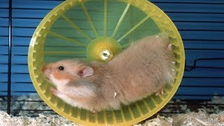 Funny Hamsters Falling Out onThe Wheel  Funny And Cute Pet Videos
