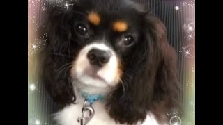 Cool Boy Cavalier King Charles Spaniel Tri Color キャバリア