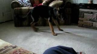 German Shepherd chasing his tail