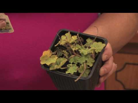 Gardening Tips : How to Grow Lady's Mantle (Alchemilla)
