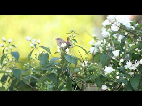 Beautiful Dawn Chorus Birdsong - Nature Sounds