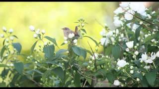 Beautiful Dawn Chorus Birdsong - Nature Sounds