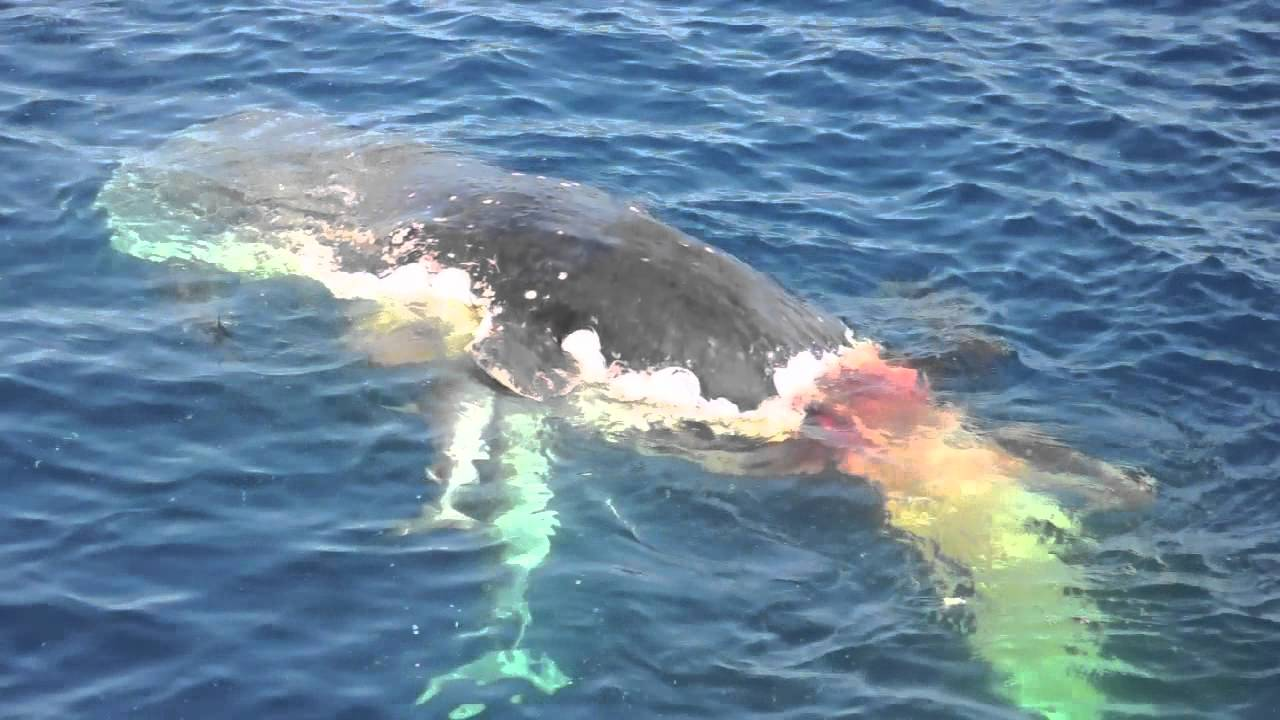 Sharks eating whale in HD - YouTube