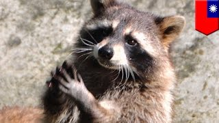 Raccoons at the zoo exhibit are trained to beg or wave for their food, kind of cute - TomoNews