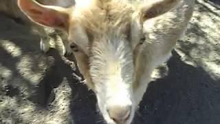 Камерунские козы в стаде как долго живут камерунские мини козочки Домашние животные для души