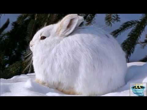 The Arctic Hare  Polar Rabbit