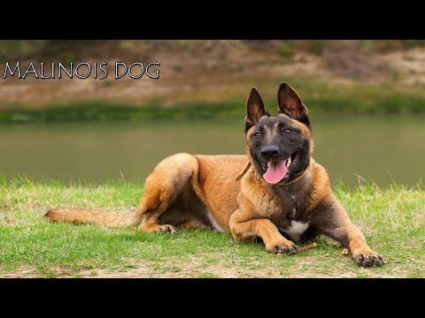 كل المعلومات عن كلاب المالينواه Belgian Malinois Dog