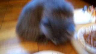 Британские котята голубого окраса. Питомник ridolina.ru