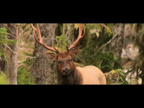 Vancouver Island Blacktail Hunting 2016