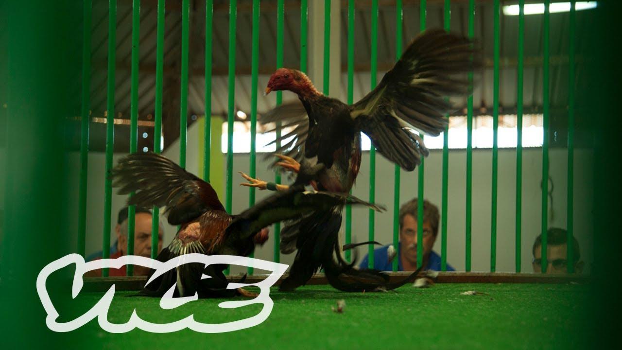 Ibérica: Peleas de gallos en Canarias