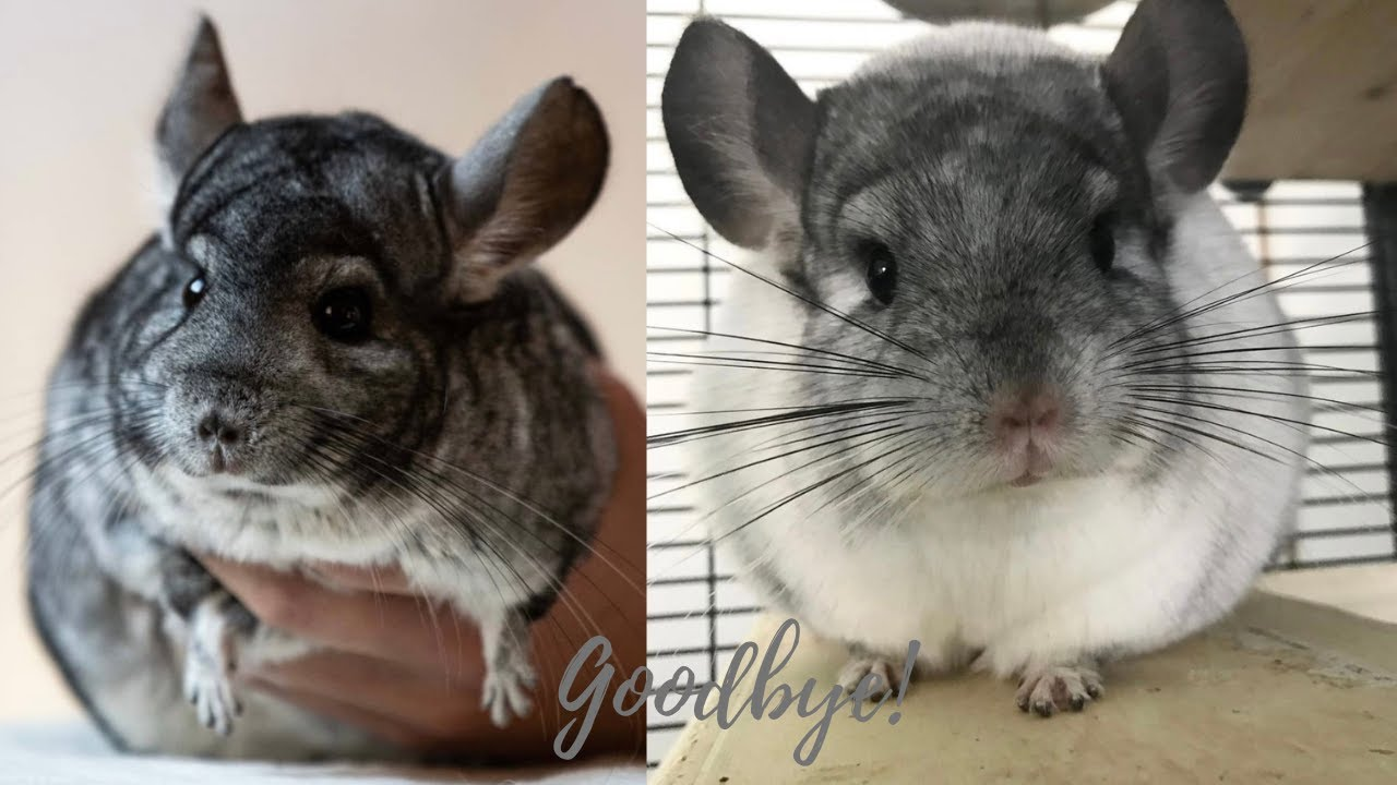 Leaving Youtube + Chinchillas Go Up For Adoption