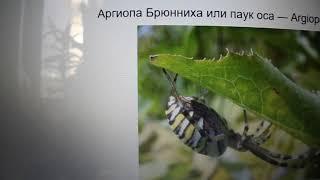 Паук наступает. Очень опасные пауки, в которым я встречала летом. Паук Крестовик и паук оса.