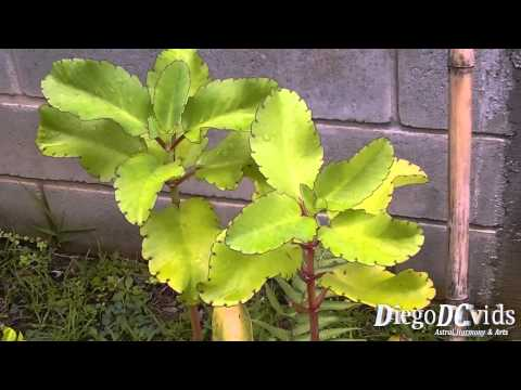 Kalanchoe pinnata - Bryophyllum pinnatum - folha-da-fortuna