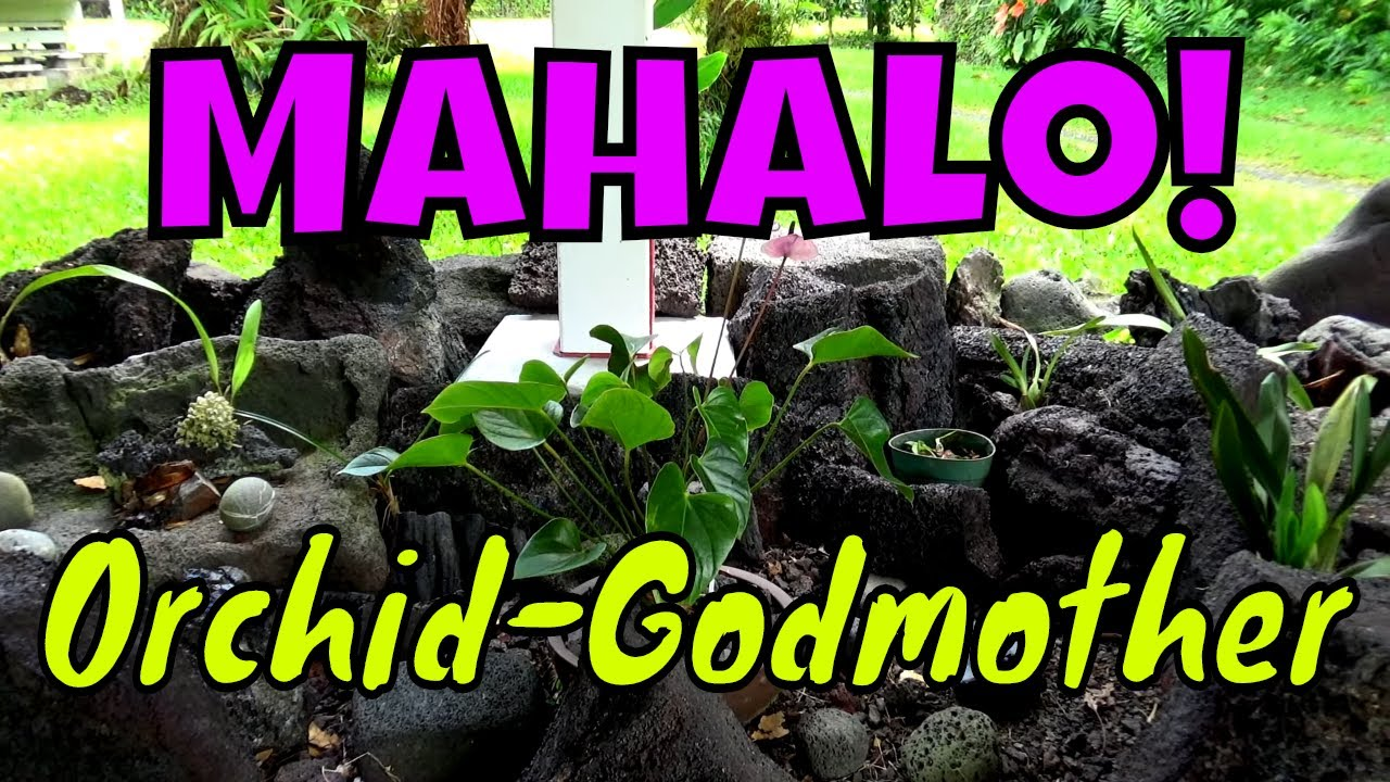 My Orchid-Godmother has Gifted the Lava Rock Garden with a New Orchid.