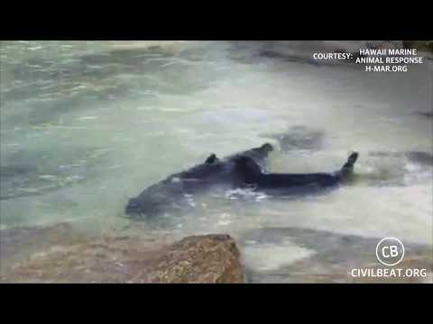 New Video Of Hawaiian Monk Seal Pup Kaimana Day 45