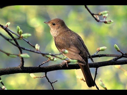 Prirodni Radio - Nightingale