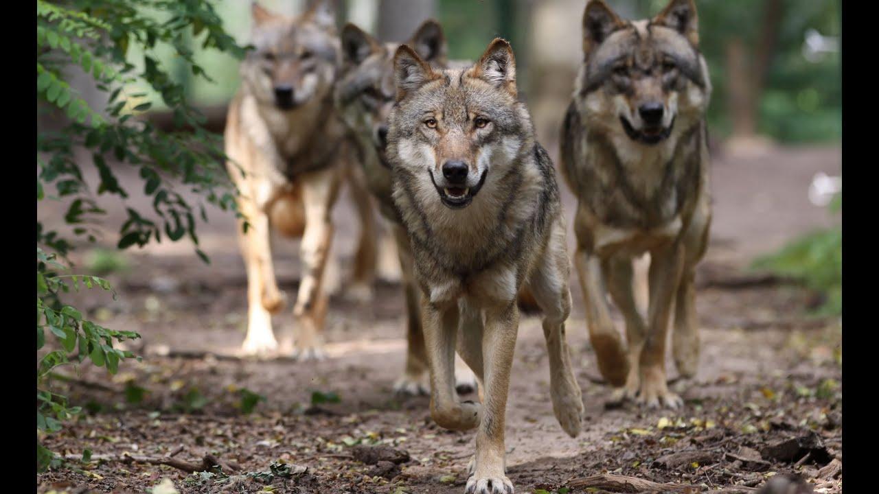 was ist ein wolfsrudel wolfsfamilie wolfcenter. Black Bedroom Furniture Sets. Home Design Ideas