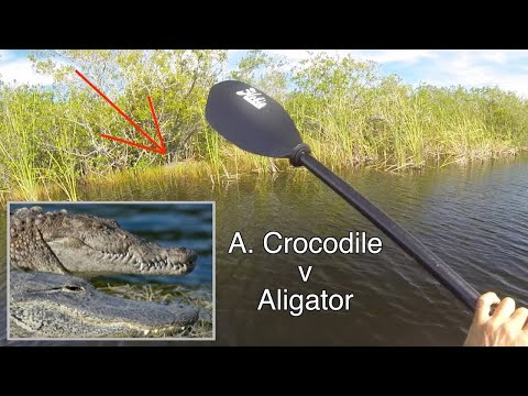 Pooped my pants Crocodiles and Alligators in Everglades National park Kayak Explore EP.388