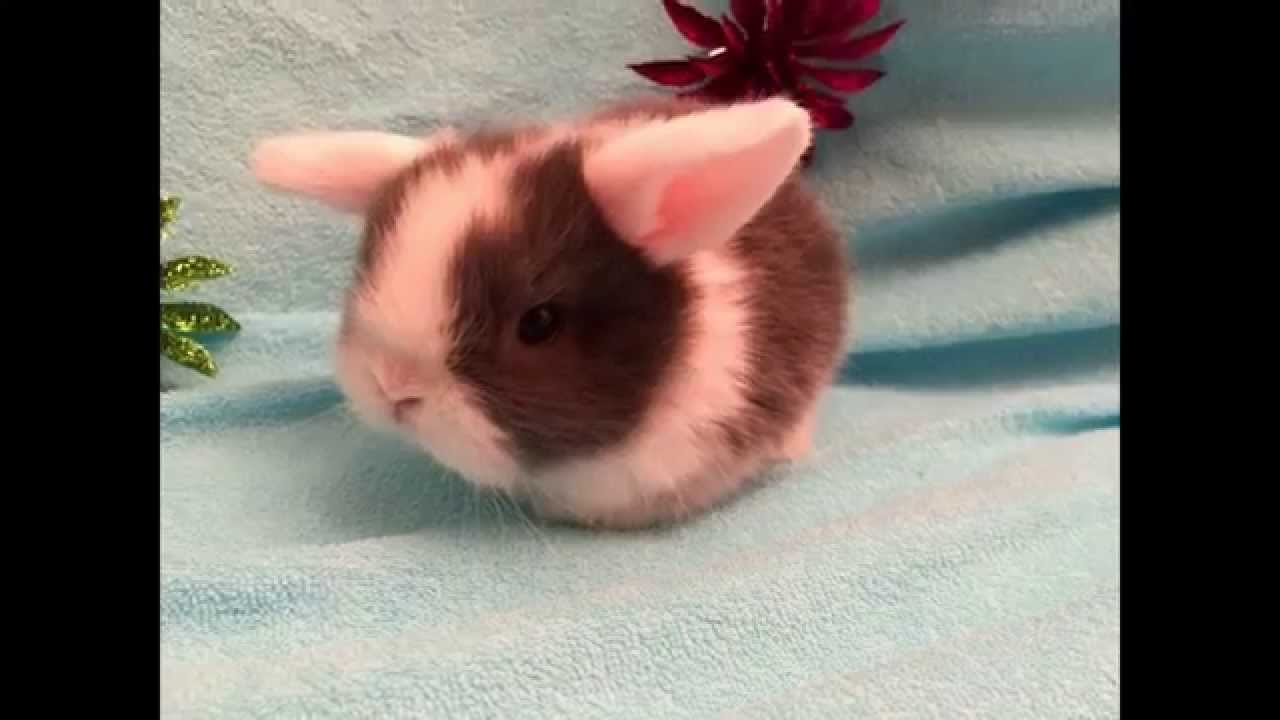 Вислоухие карликовые кролики http://uralsjoy. Narod. Ru/sale. Html. В питомнике