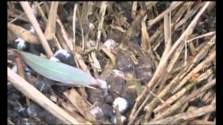 Охота на фазана с Западно-Сибирской Лайкой