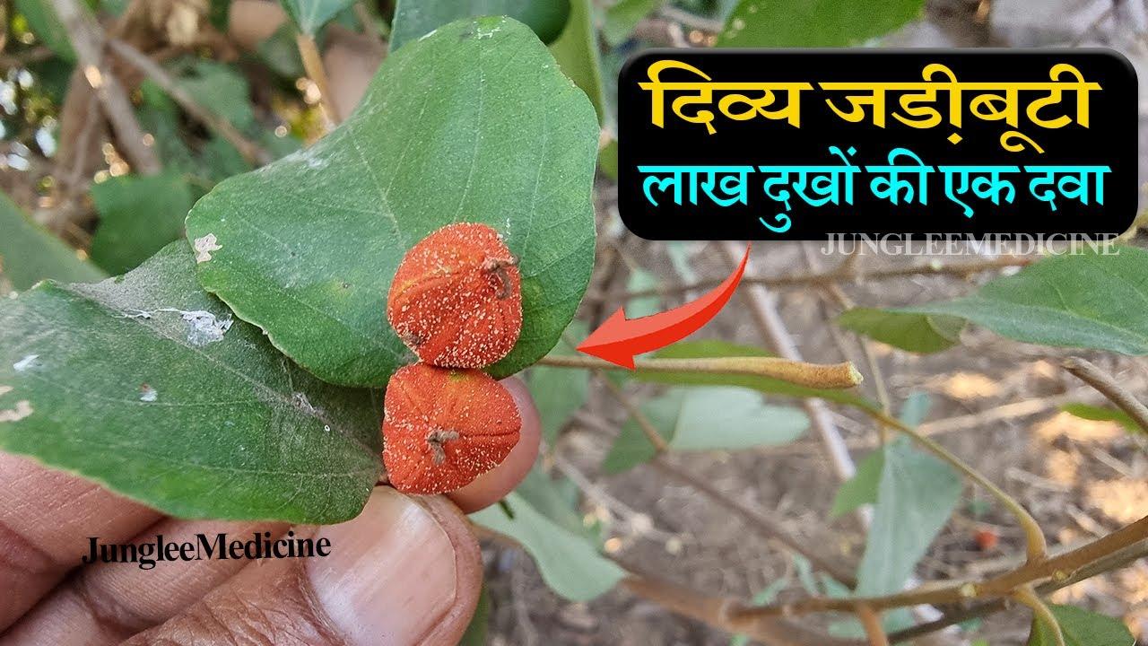 कम्पिल्लक (कबीला) जड़ी बूटी के चमत्कारी फायदे नुकसान व पहचान//kapila plant //mallotus philippensis