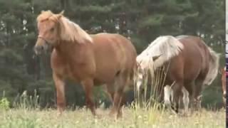 Konie zimnokrwiste w typie sokólskim. Polskie rasy rodzime