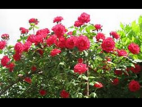 I beg your pardon I didn\'t promise you a rose garden - YouTube