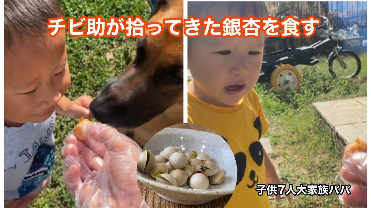【子供7人大家族パパ】天ちゃんが拾ってきた銀杏を食します