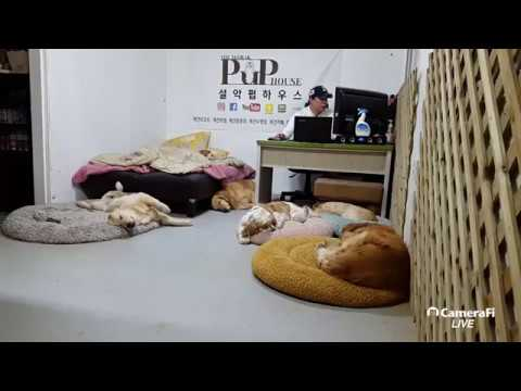 [Korea Dog TV live] 170329 #설악펍하우스 #속초애견호텔 #골든리트리버 #retriever #dog
