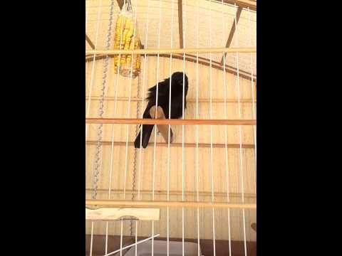 Pássaro preto.... canto COQUI COQUI