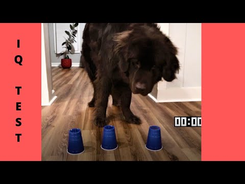How Smart is a Newfoundland Dog? Testing My Dogs Intelligence!