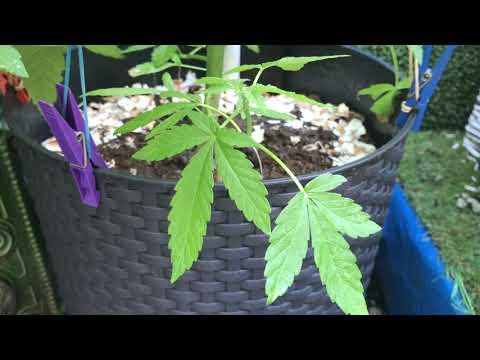 Вопрос: У какого растения листья напоминают листочки конопли?