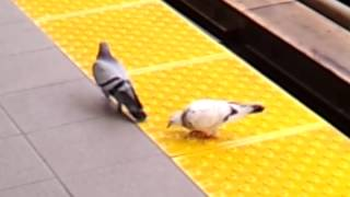 Cute Handicapped Pigeon Love