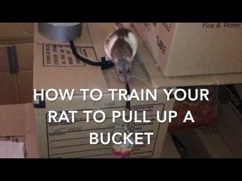 How to Train a Rat to Pull Up a Bucket