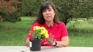 How to Overwinter Fall Mums Indoors : Planting & Caring for Mums
