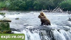 BEAR CAM is Back! - This Week at Brooks Falls