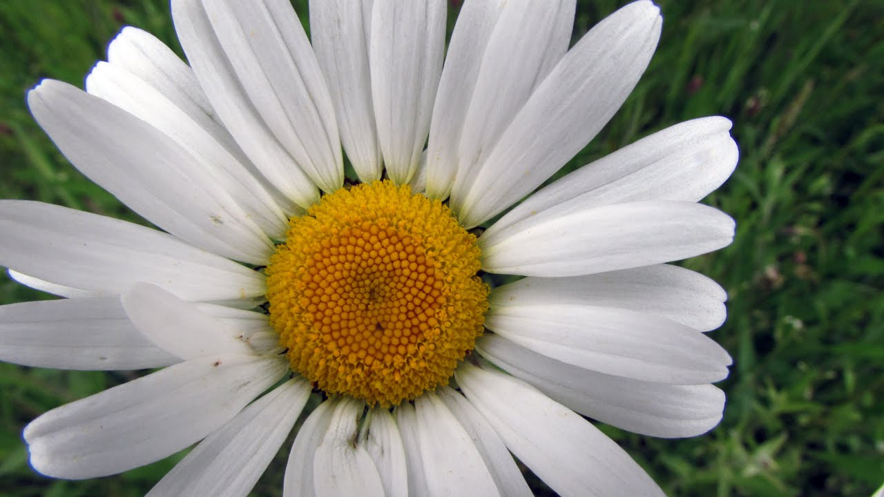 Silver Princess Shasta Daisy Seeds | White Daisy Seeds