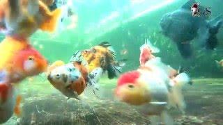 Limas Farm Goldfish Paludarium 28 December 2015
