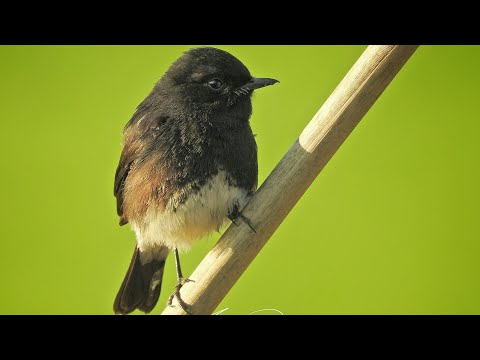 Pied Bush Chat , Male & Female Nikon P900 Wildlife Test