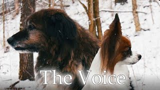 I Heard A Voice // Percy the Papillon Dog