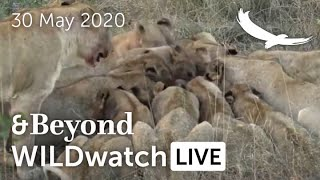 WILDwatch Live | 30 May, 2020 | Afternoon Safari | Ngala Private Game Reserve