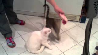 Котята. Приколы. Красивый котенок накручивает круги за мясом.