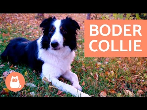 BORDER COLLIE - El perro ms INTELIGENTE del mundo