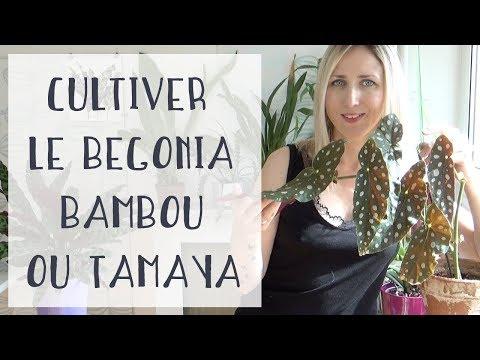 Begonia bambou, tamaya: Culture et entretien | Tuto jardinage | Plantes d'intérieur