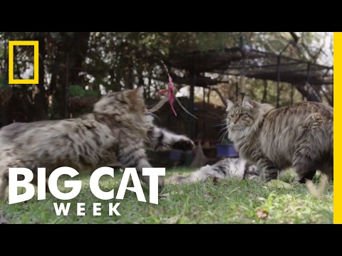 Watch Cats Jump in Slow Motion | Big Cat Week
