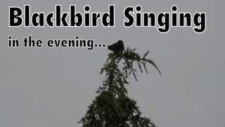 Blackbird Singing in the Evening