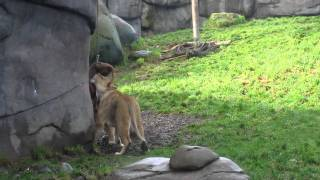 Oregon Zoo Male Lion Tail tip Severed 06/13/2016 during demonstration