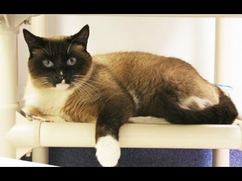 Kitty Bug, a stunning Seal Point Siamese!
